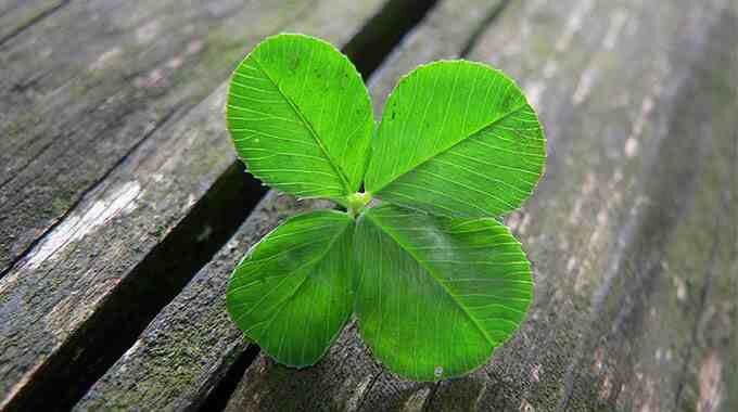Make a wish! Four leaf clovers are one of the good luck symbols and can be one of the signs that the law of attraction is working for you.